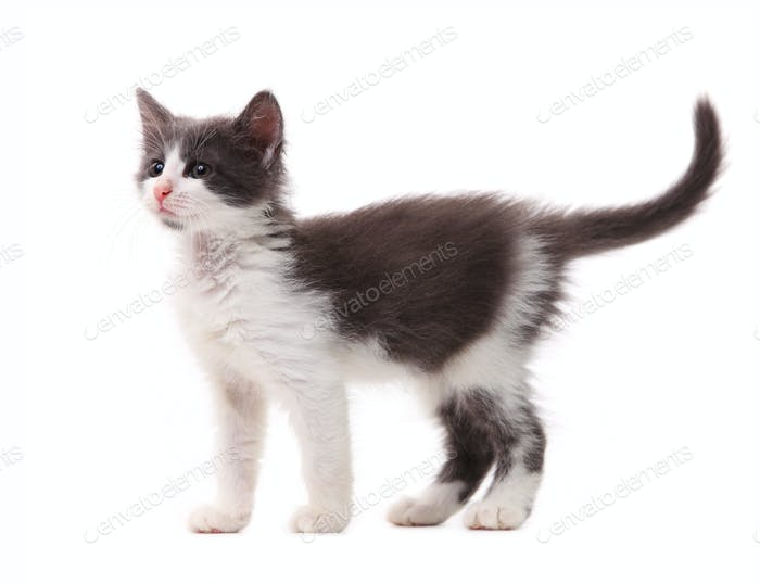 Beautiful kitten isolated over white