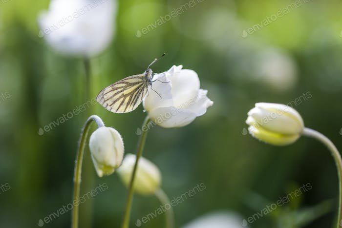 White butterfly in anemone colors. Summer scene