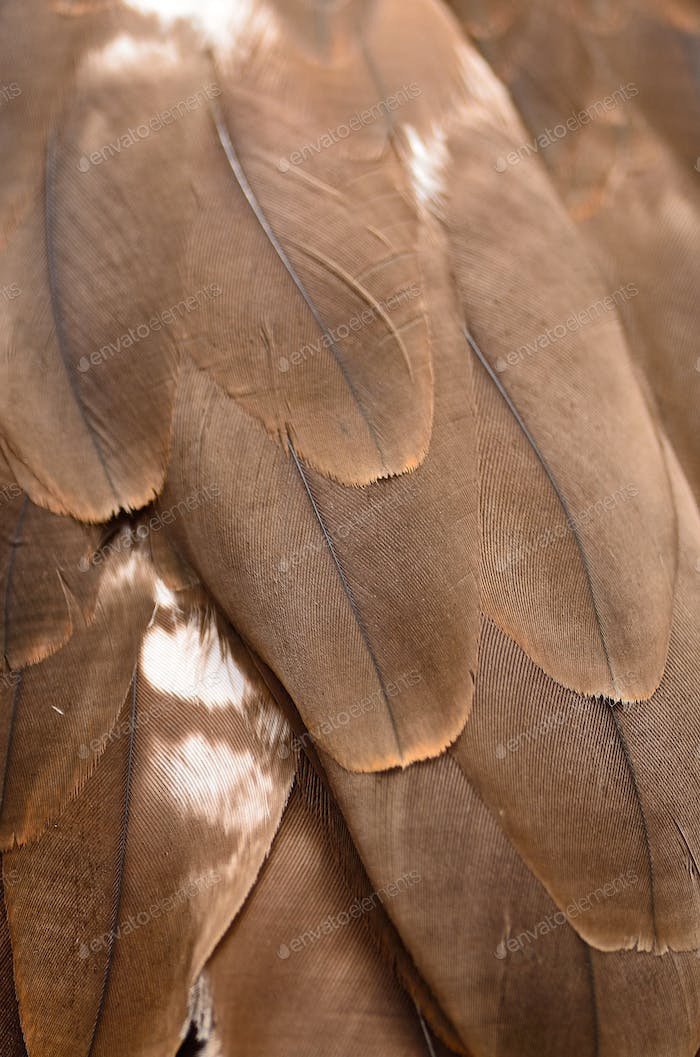 Black Kite feather