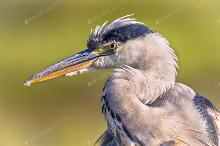 Grey heron close up of head