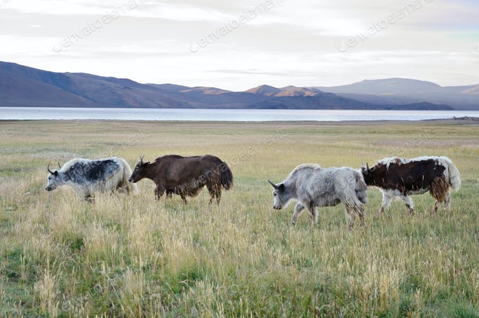 Yaks Herde