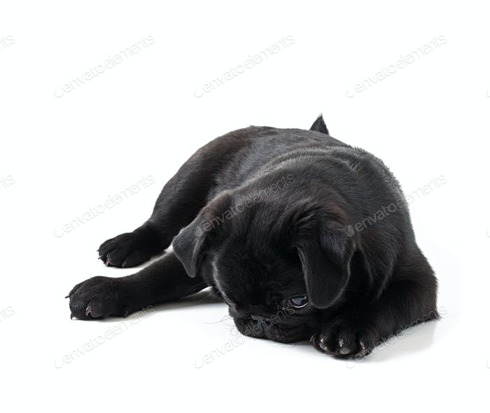 Young black dog pug posing on white background