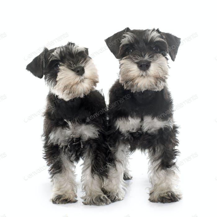 puppies miniature schnauzer