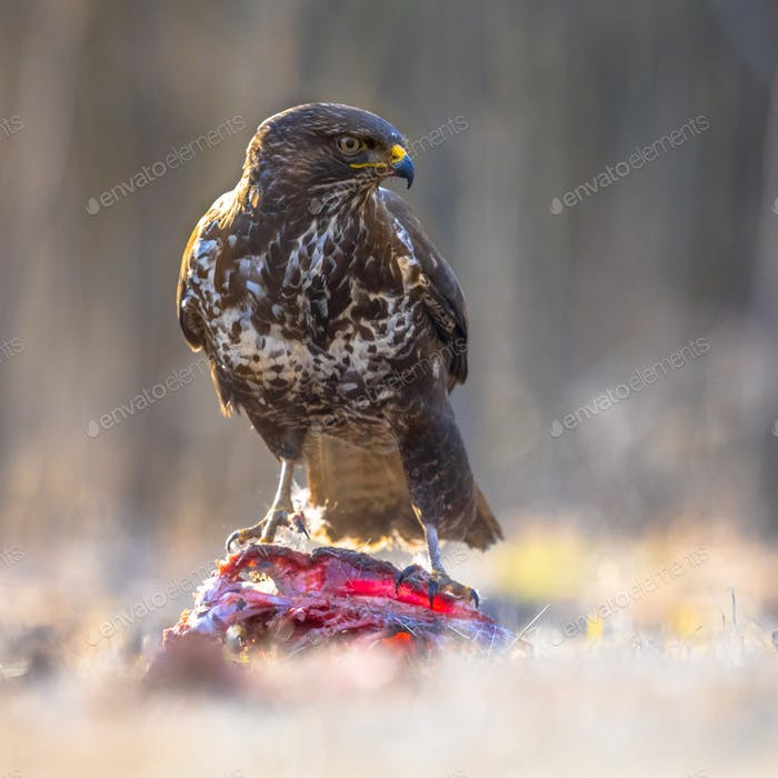 Common Buzzard with prey