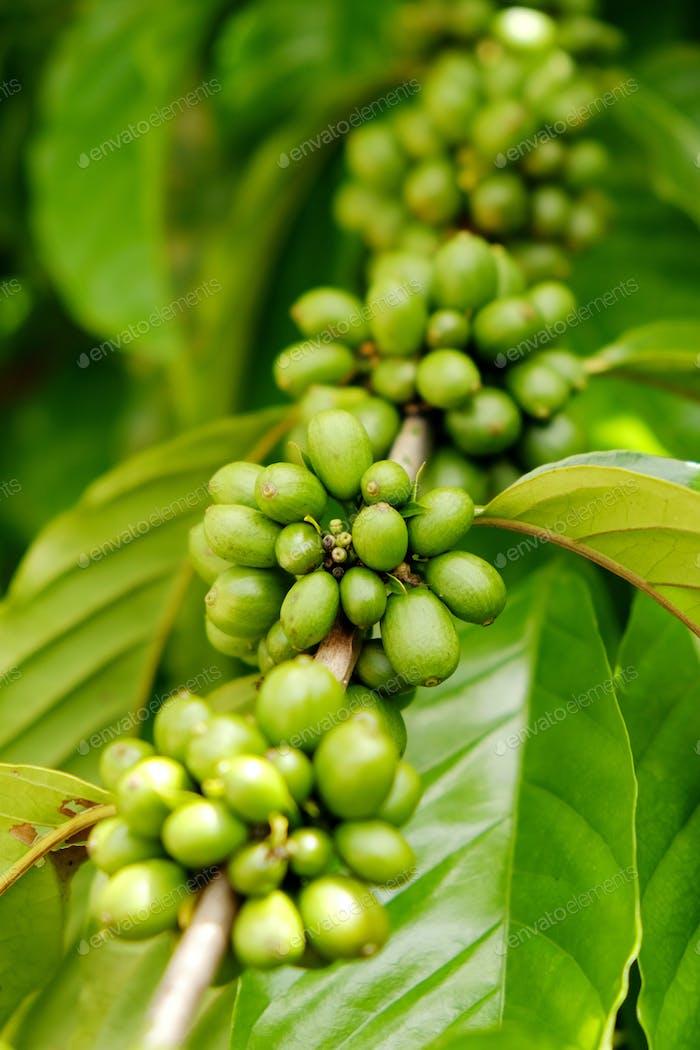 ripe coffee