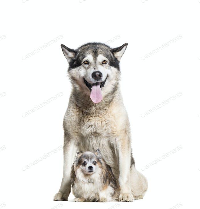 Alaskan Malamute panting and chihuahua dogs sitting, cut out