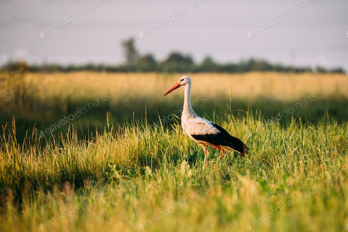 Adult European White Stork Standing In Green Summer Grass In Bel