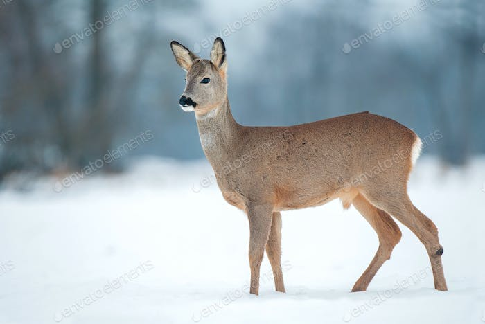 Young roe buck without antlers during winter time