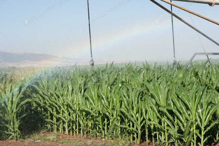 corn field and rainbow