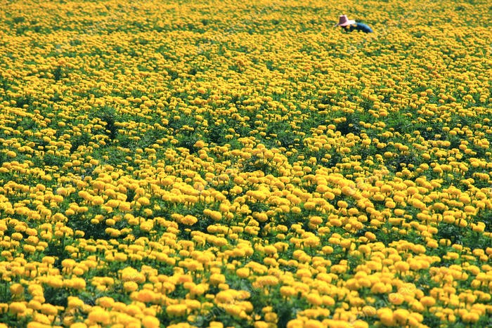 View of marigolds on plant