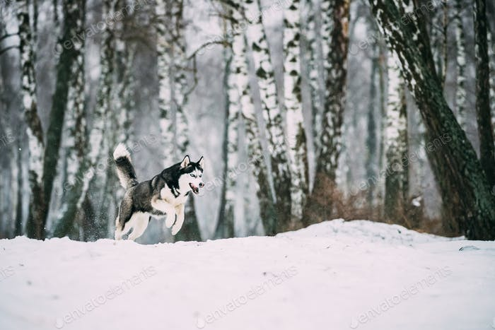 Siberian Husky Dog Funny Running Outdoor In Snowy Forest At Wint