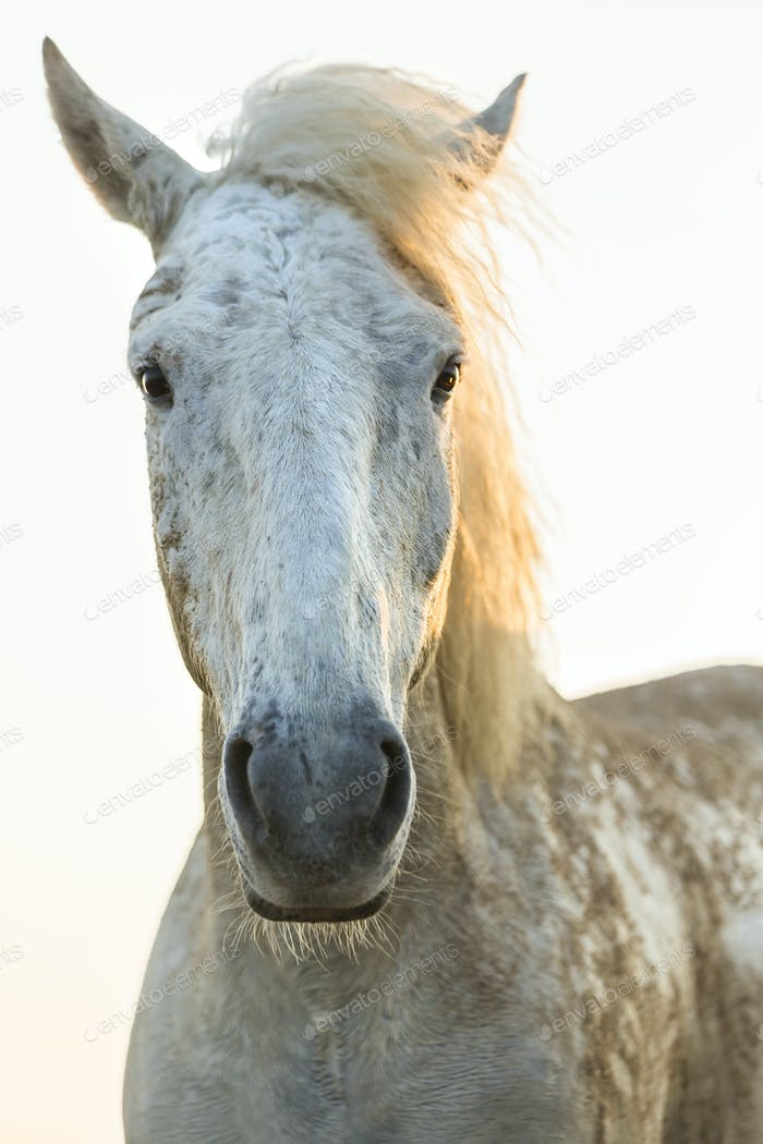 Close up of white horse, looking at camera.