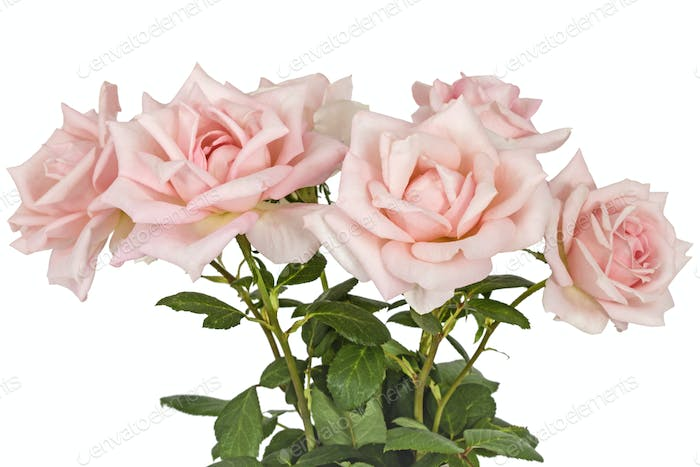 Bouquet from flower pink roses, isolated on white background