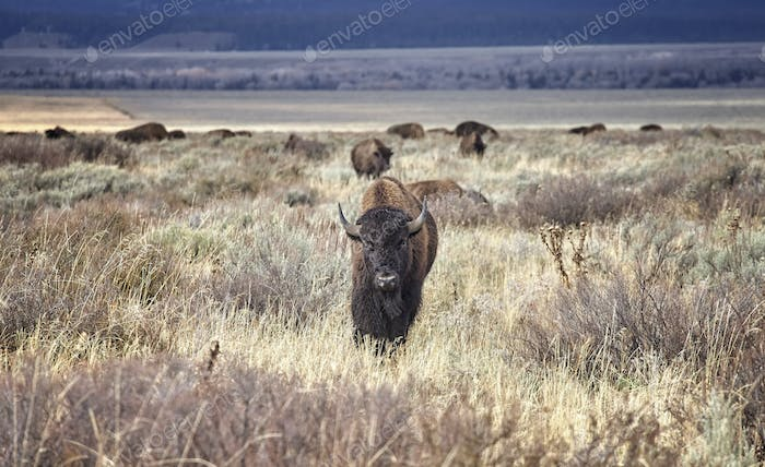 Young American bison, Wyoming, USA.