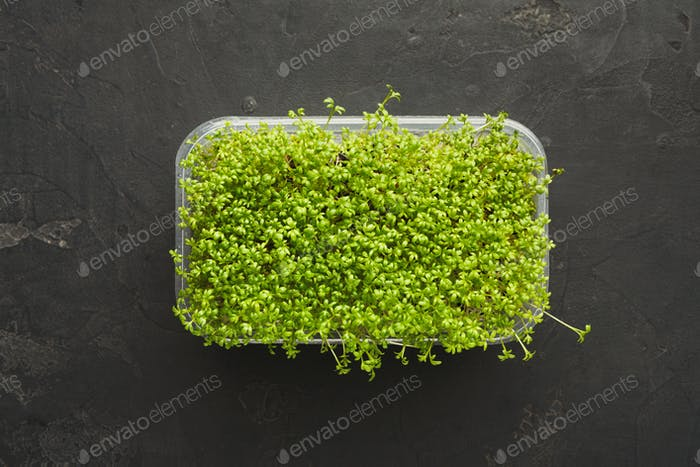 Micro greens growing in plastic bowl top view