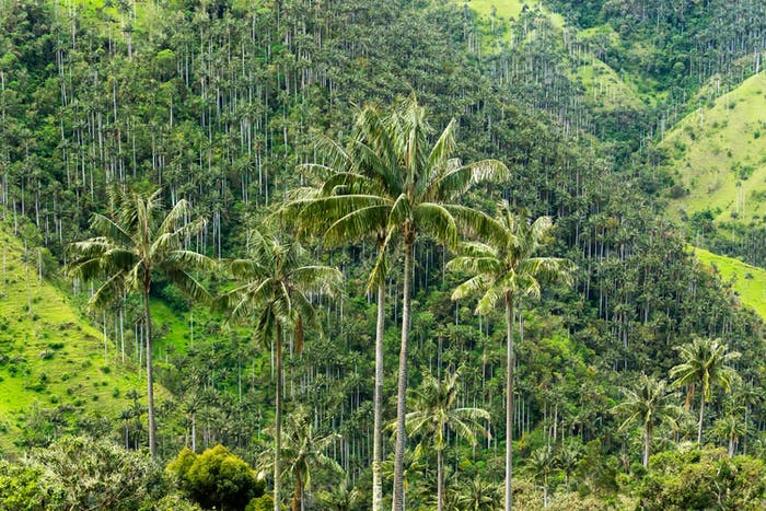 Wax Palm Tree Forest