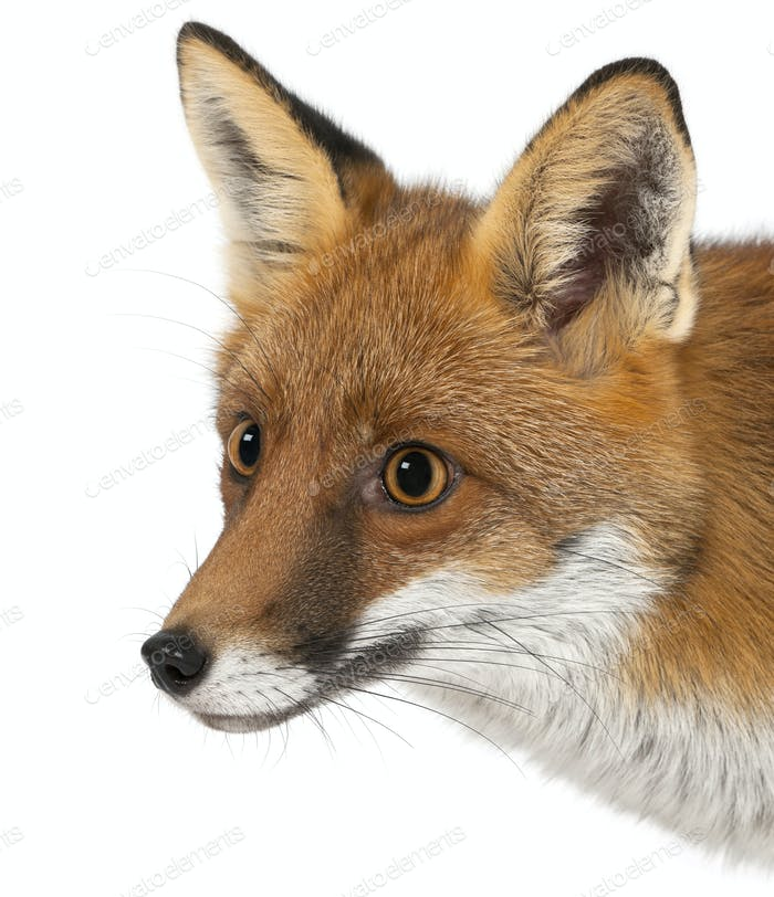 Red fox, Vulpes vulpes, 4 years old, against white background