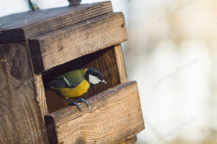 Yellow tit is sitting in a wooden birdhouse. Copy space.