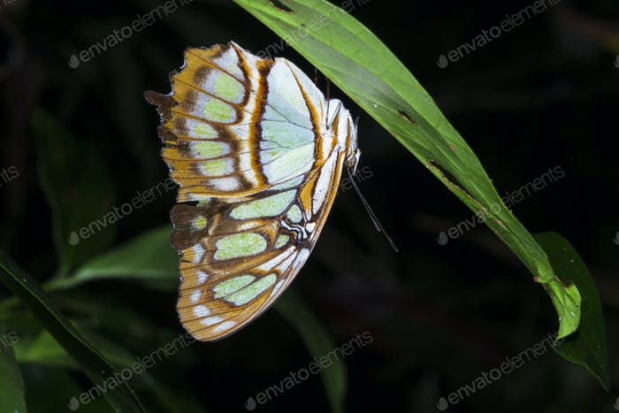 Malachite Butterfly Resting Under a Leaf at Night in Costa Rica