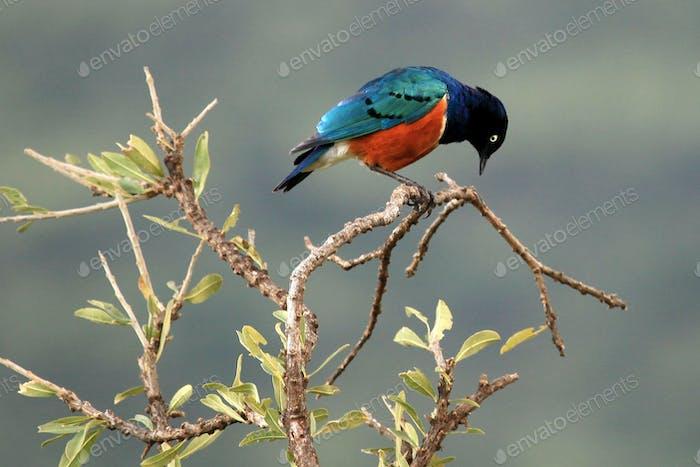 Splendid Starling - Maasai Mara Reserve - Kenya