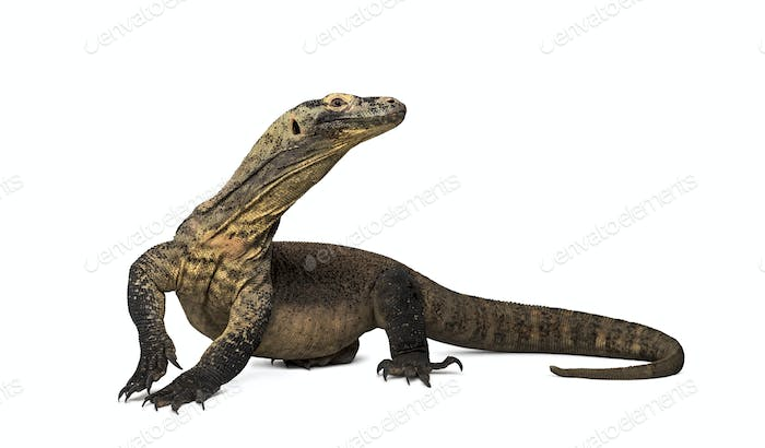 Komodo Dragon looking away with leg up, isolated on white