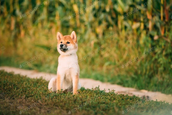 Young Red Shiba Inu Welpen Hund sitzend Outdoor In Road Through Co