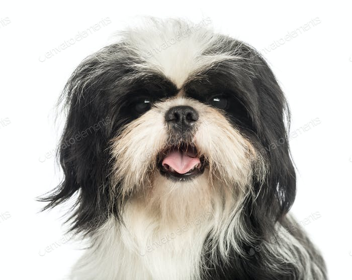 Close-up of a Shi tzu panting, looking at the camera, isolated on white