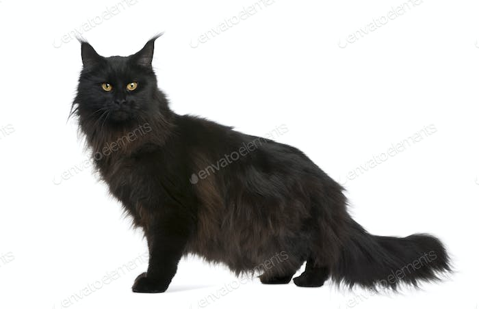Maine coon, 21 months old, in front of white background