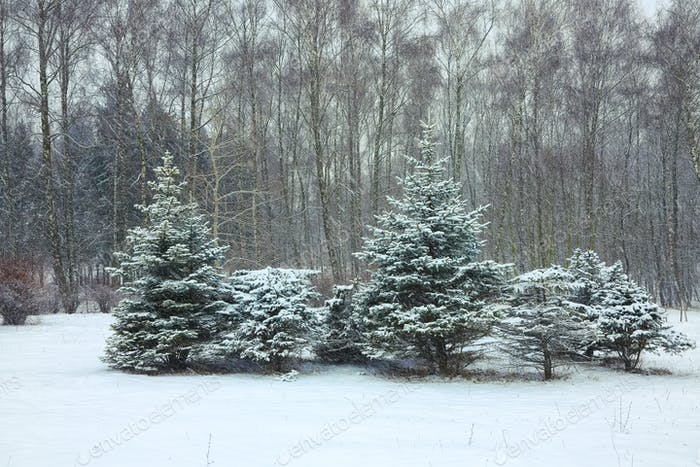 Christmas trees covered with snow in the city park