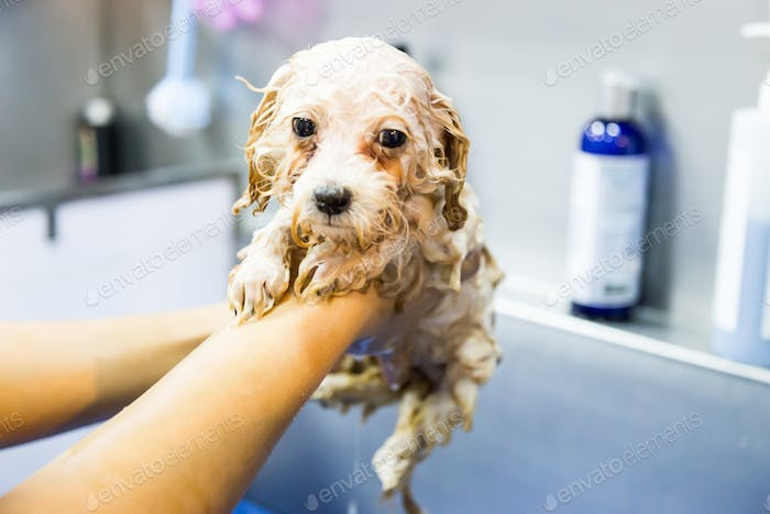 Series of cute poodle puppy being showered bath with shampoo