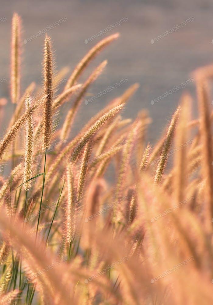 Fountain grass on a sunny day