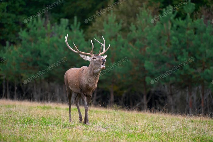Red deer in mating season