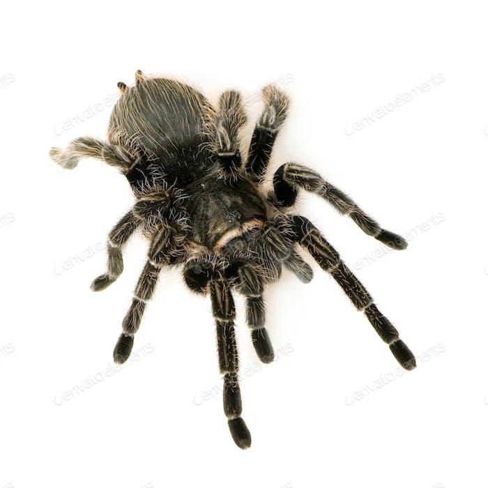 Zebra tarantula or Aphonopelma seemanni
