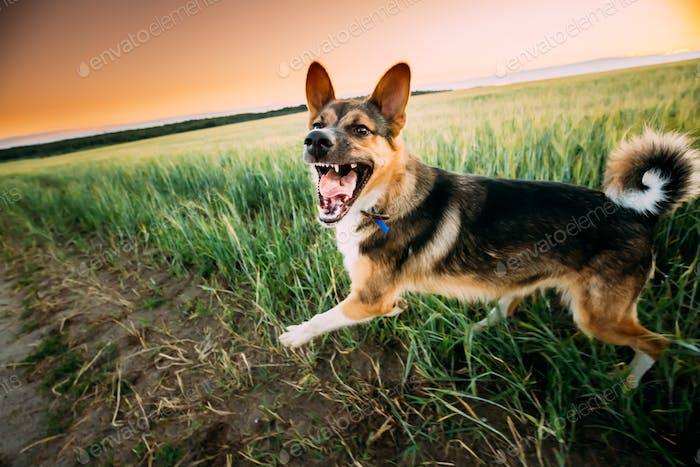 Running Barking Angry Mixed Breed Dog