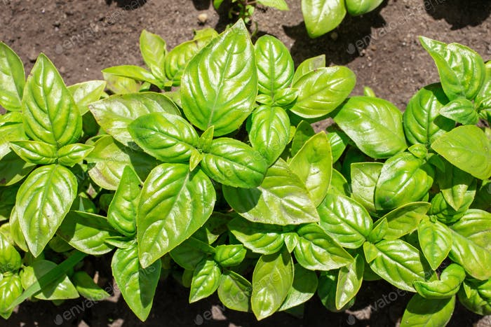 Basil plants above