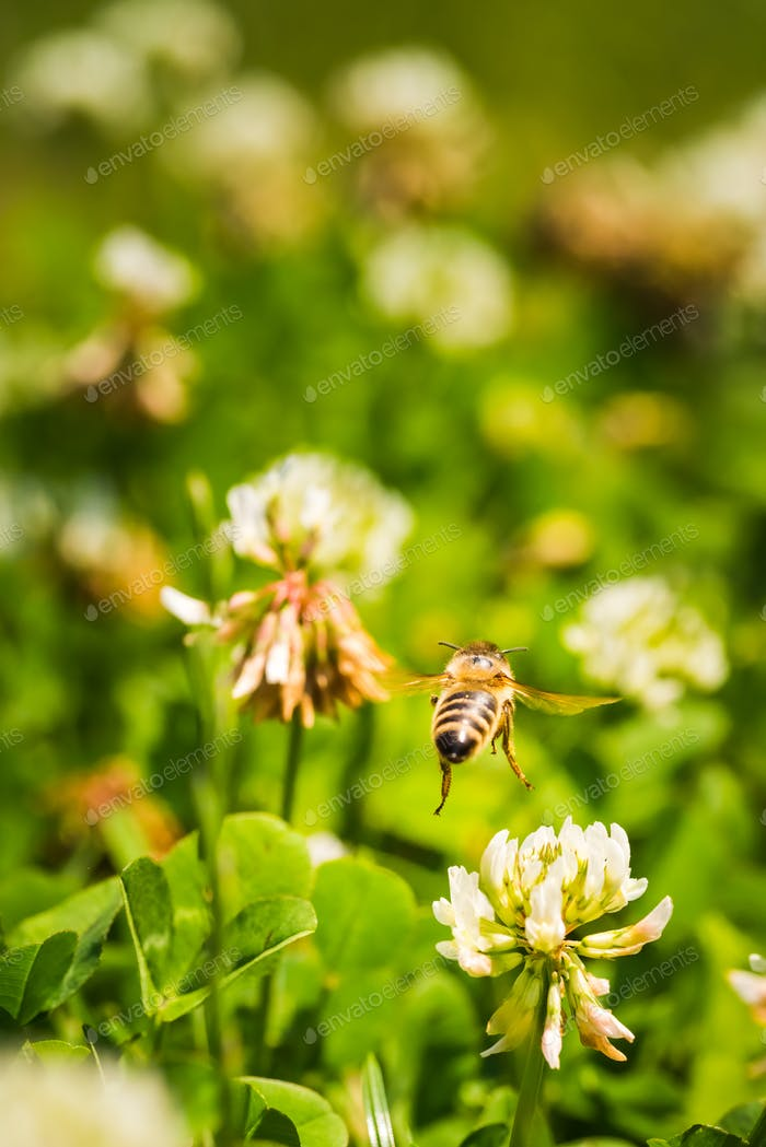 Close up of honey bee in midair on the clover flower in the green field. Green background