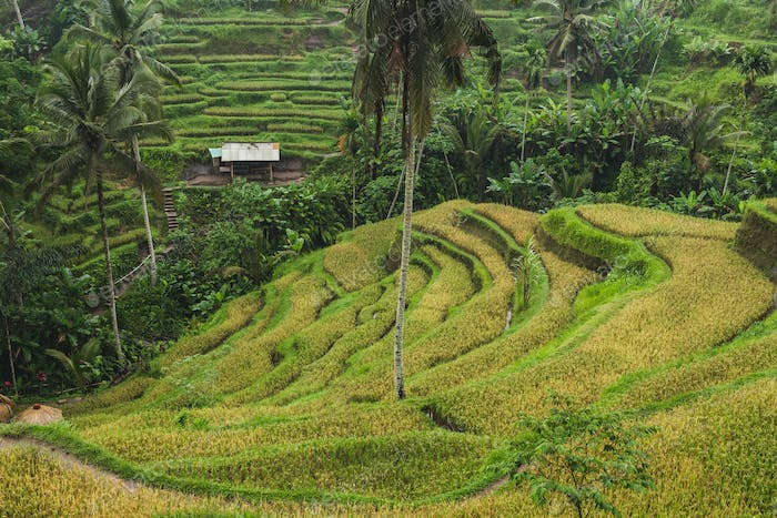 Tegalalang Ceking rice terraces in Ubud, Bali