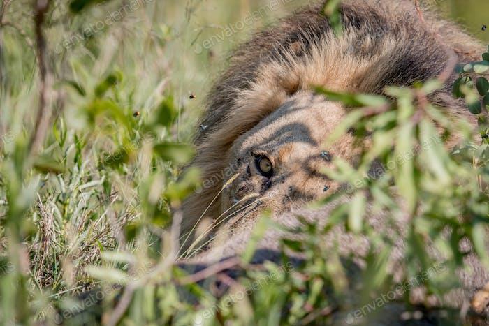 Big male Lion feeding on a Waterbuck kill.