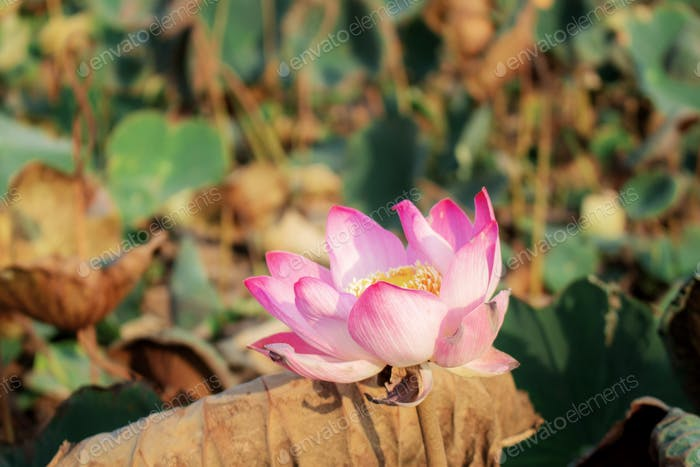 Pink lotus with sunlight
