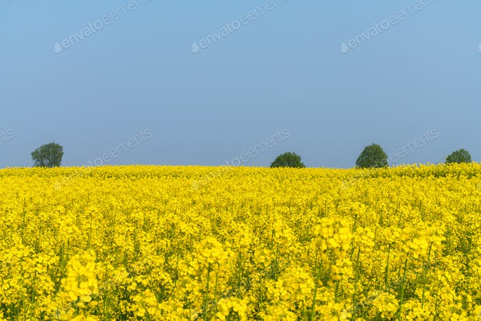 spring fields of flowering rapeseed