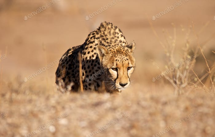 Cheetah (Acinonyx jubatus) is one of the most important parts of