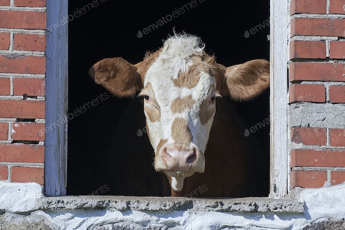 Domestic cow looking out a window
