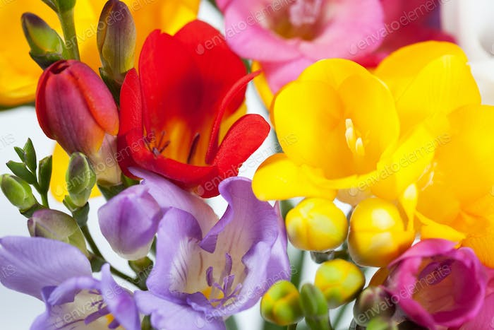 Background of the beautiful flowers of freesia