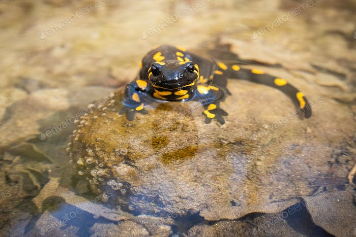 Inactive fire salamander resting in water on sunny spring day with warm light