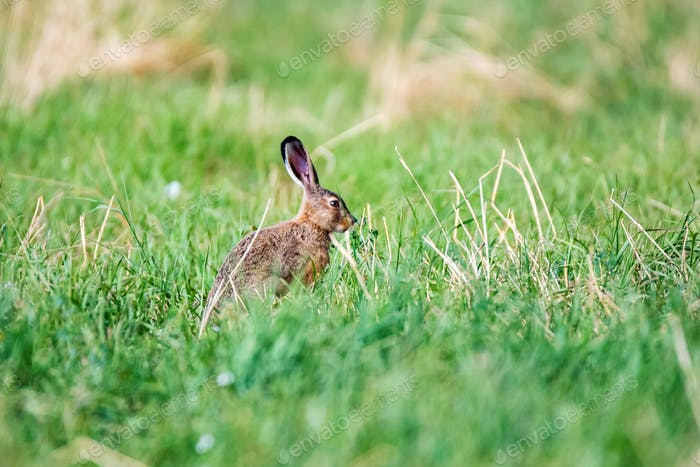 Alert European hare or Lepus europaeus sits in a meadow