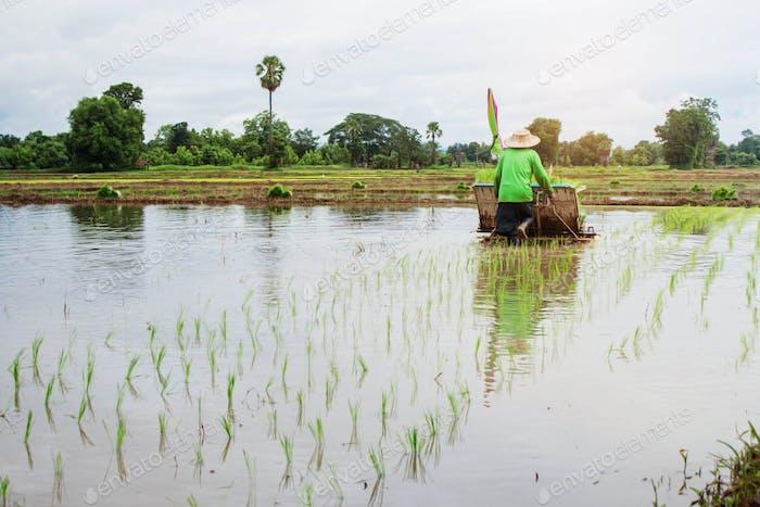 Landwirte pflanzen Reis auf Feldern