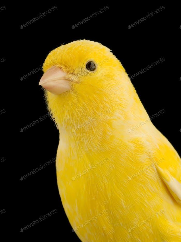 Gelber Kanarienvogel auf seinem Barsch