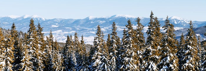 Panorama landscape of the winter forest of snowy spruce