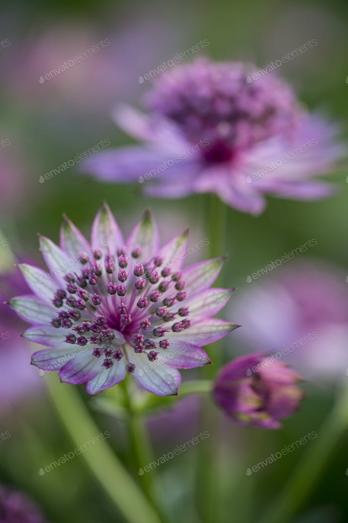 Close up of flower with delicate pale purple and white blossom.