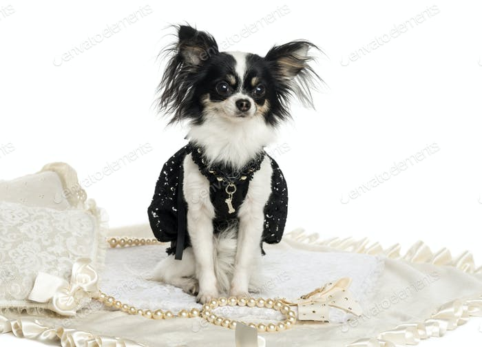 Dressed up Chihuahua sitting, isolated on white